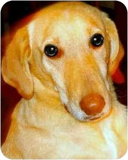 Labrador Retriever/Golden Retriever Mix Dog for adoption in Pawling, New York - BEAMER