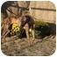 Photo 2 - Greyhound Dog for adoption in Dallas, Texas - Wolfe
