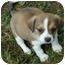 Photo 2 - Pekingese/Shih Tzu Mix Puppy for adoption in Allentown, Pennsylvania - Reese