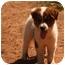 Photo 2 - Australian Shepherd/Golden Retriever Mix Puppy for adoption in Prince William County, Virginia - Ringo