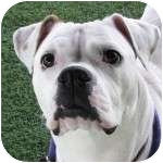 American Bulldog Mix Dog for adoption in Eatontown, New Jersey - Maggie