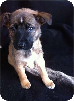 Shepherd (Unknown Type)/Border Collie Mix Puppy for adoption in FOSTER, Rhode Island - CHARITY