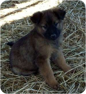 Chow Chow/Labrador Retriever Mix Puppy for adoption in Waller, Texas - Kassidy