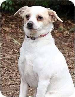 Chihuahua/Dachshund Mix Dog for adoption in Santa Barbara, California - Odie