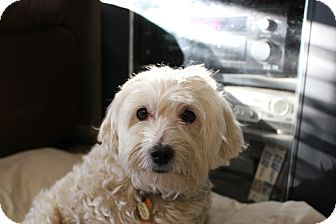 Bichon Frise/Shih Tzu Mix Dog for adoption in Corona, California - BOOMER