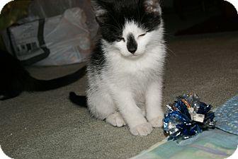 Domestic Shorthair Kitten for adoption in Trevose, Pennsylvania - Duffy