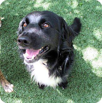 Border Collie Mix Dog for adoption in Corning, California - BEAU