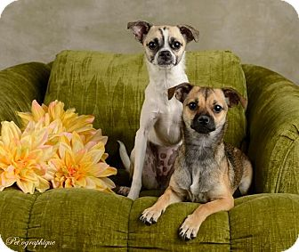 Fox Terrier (Toy)/Chihuahua Mix Puppy for adoption in Las Vegas, Nevada - Petunia