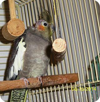 Cockatiel for adoption in Lenexa, Kansas - Pixie