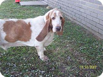 Basset Hound Dog for adoption in Grapevine, Texas - Jackson