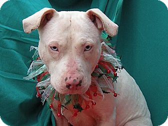 Pit Bull Terrier Mix Dog for adoption in Parsippany, New Jersey - Sally