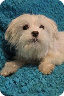 Maltese Dog for adoption in Allentown, Pennsylvania - Posey