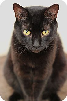 Domestic Shorthair Cat for adoption in Long Beach, New York - Nate