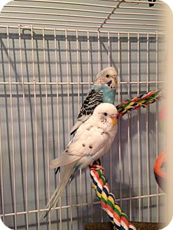 Budgie for adoption in St. Louis, Missouri - Ricky & Lucy