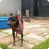 Adopt A Pet :: Pecan - hollywood, FL