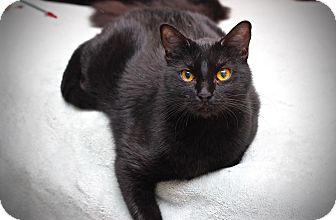 Domestic Shorthair Cat for adoption in San Antonio, Texas - Cole
