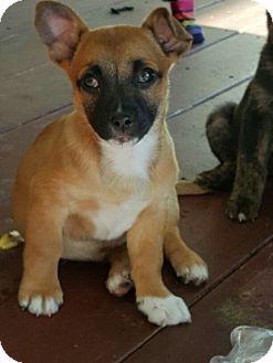 German Shepherd Dog Mix Puppy for adoption in Winnetka, California - G. SHEP PUPPIES