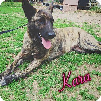 Dutch Shepherd Dog for adoption in Centerton, Arkansas - Kara