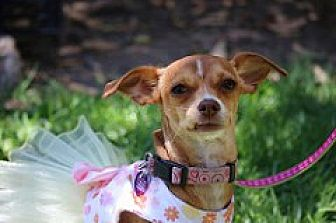 Chihuahua Mix Puppy for adoption in Fountain Valley, California - Daisy
