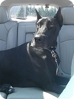 Great Dane Dog for adoption in Grand Haven, Michigan - Dozer
