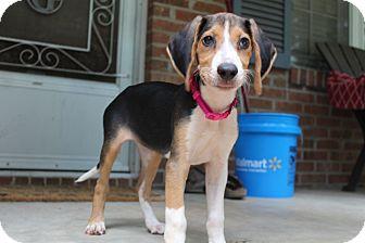 Treeing Walker Coonhound Puppy for adoption in Monroe, North Carolina - Cassie