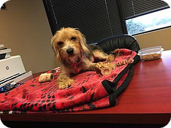 Yorkie, Yorkshire Terrier/Beagle Mix Dog for adoption in Baltimore, Maryland - Rosie