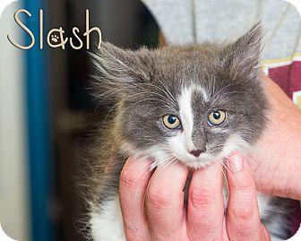 Domestic Longhair Kitten for adoption in Somerset, Pennsylvania - Slash