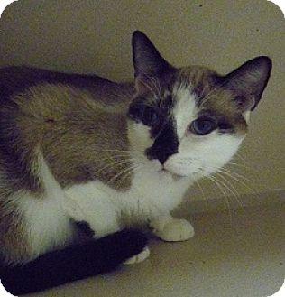 Siamese Cat for adoption in Hamburg, New York - Milan