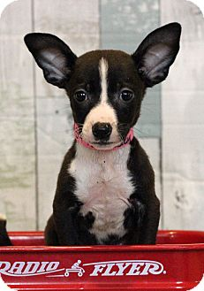 Terrier (Unknown Type, Medium) Mix Puppy for adoption in Waldorf, Maryland - Lacy