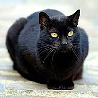Domestic Shorthair Cat for adoption in Long Beach, New York - Mink
