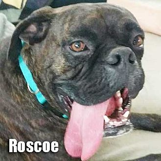 Boxer Dog for adoption in Encino, California - Roscoe