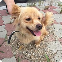 Adopt A Pet :: Goldie - Oakton, VA