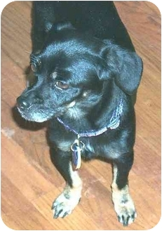 Dachshund/Pekingese Mix Dog for adoption in Inman, South Carolina - Penny