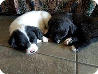Labrador Retriever/Australian Shepherd Mix Puppy for adoption in Chandler, Arizona - Marin