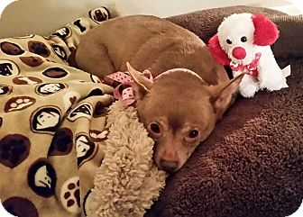 Chihuahua Mix Dog for adoption in Gulfport, Mississippi - Monkey