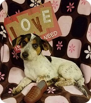 Australian Cattle Dog Mix Puppy for adoption in Elkton, Maryland - Trixie