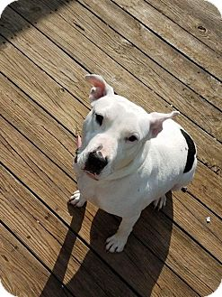 American Pit Bull Terrier/Bull Terrier Mix Dog for adoption in Windham, New Hampshire - Aiyana