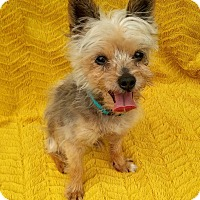 Yorkie, Yorkshire Terrier Dog for adoption in Cleveland, Ohio - Humpty Dumpty
