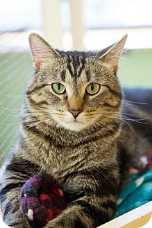 Domestic Shorthair Cat for adoption in St. Paul, Minnesota - Zookie
