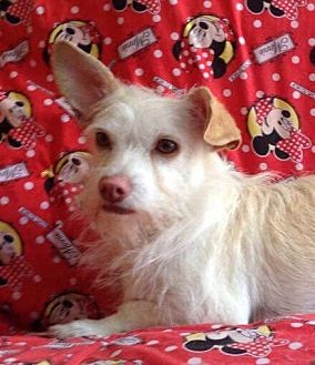 Terrier (Unknown Type, Small) Mix Dog for adoption in Santa Monica, California - Alfie