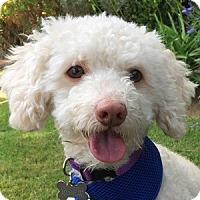 Adopt A Pet :: Mercury - La Costa, CA
