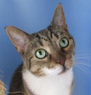 Domestic Shorthair/Domestic Shorthair Mix Cat for adoption in Northfield, Minnesota - Ginger