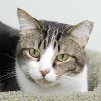 Domestic Shorthair/Domestic Shorthair Mix Cat for adoption in Batavia, Ohio - Verne