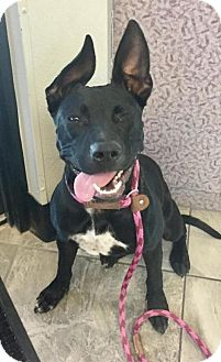Australian Kelpie/Pit Bull Terrier Mix Puppy for adoption in Las Vegas, Nevada - Hailee