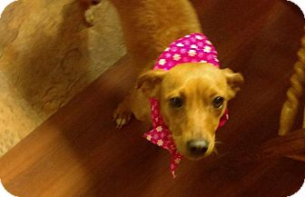 Dachshund Mix Dog for adoption in south plainfield, New Jersey - Cookie