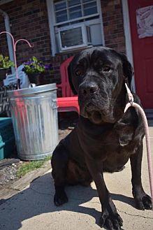 Cane Corso Dog for adoption in Matawan, New Jersey - Thelma