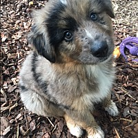 Adopt A Pet :: Ocean - Harrisonburg, VA