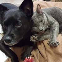 Adopt A Pet :: Dixie - Stroudsburg, PA