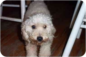 Poodle (Miniature) Dog for adoption in Center Moriches, New York - Abby