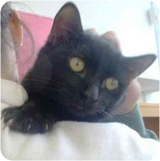 Domestic Shorthair Cat for adoption in Radford, Virginia - Clyde